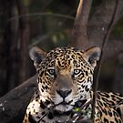 Jaguar - Pantanal in Brazil by Marieseyes