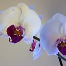orchid by lins