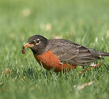 American Robin with Grub by (Tallow) Dave  Van de Laar