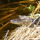 Baby Gator 2 by Howard & Rebecca Taylor