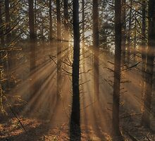 Sunbeams in the Forest by Randall Scholten