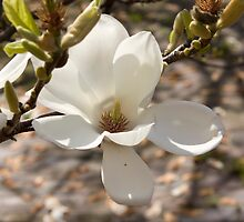 Magnolia Flower in St. Giles Courtyard by Jonathan Doherty