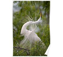 Great Egret in Courtship Dance Poster