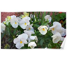 Lovely white pansies Poster