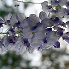 Spring Wisteria by Meredith Ward