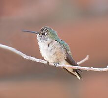 Baby Hummingbird by noffi