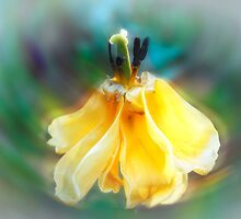 Dancing Tulip by Rita Ballantyne