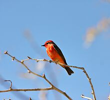 Vermillion Flycatcher by Erin Brown