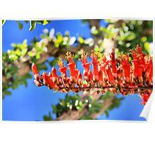 Ocotillo Bloom Poster