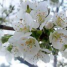 Cherry blossoms by Ana Belaj