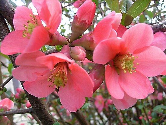 The spring beauties by Ana Belaj