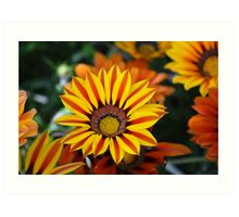 Assorted Gazania flowers Art Print