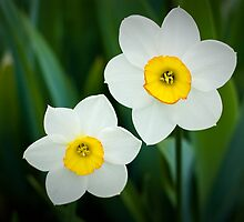 Poeticus Narcissus by Barbara Ingersoll