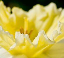 daffodil fringe by jude walton