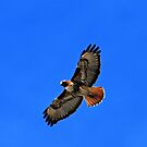 red tail hawk by Rodney55
