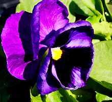 Purple Pansy by Tricia Stucenski