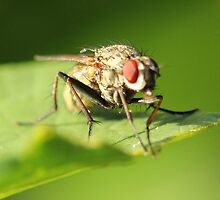 Fly on Leaf by Gary Horner