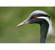Common Crane Photographic Print