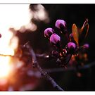 ~ first buds ~ by MelAncholyPhoto
