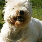 Sadie -West Highland White Terrier by Rowan Osguthorpe