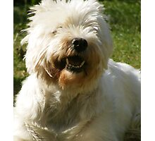 Sadie -West Highland White Terrier Photographic Print