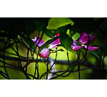 pink, dogwood Photographic Print