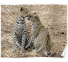 Mother And Daughter Leopards - South Africa Poster