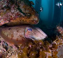 Cuttlefish under the Rapid Bay jetty - South Australia by Stephen Colquitt