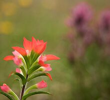 Indian Paintbrush by bullsAndPei