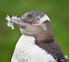 Feathered - Yellow-Eyed Penguin by Kimball Chen