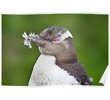 Feathered - Yellow-Eyed Penguin Poster