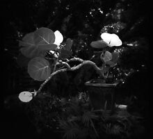 Seagrape Bonsai by AnalogSoulPhoto