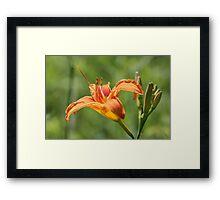 Orange Lily Framed Print