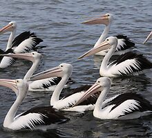 Lots of Pelicans  by Debbie  Widmer