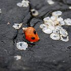Orange Seashell on Jetty by photodork