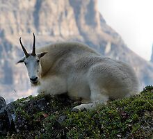 Mountain Goat of Devil's Thumb by JamesA1