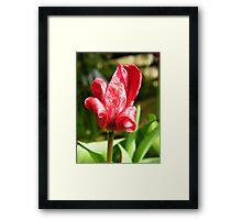 Red petals - TULIP ! ! Framed Print