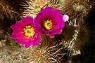 Cactus Flowers by Zane Paxton