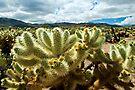 Cholla Cactus  by Zane Paxton
