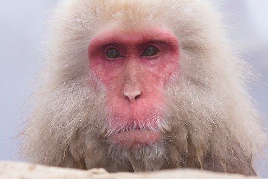 Grandpa Onsen Monkey - Japan by Paul Fulwood