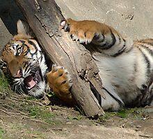Gotcha - Malayan Tiger  by Kathy Newton