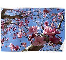 Magnolia Campbellii - Overbecks, Salcombe Poster