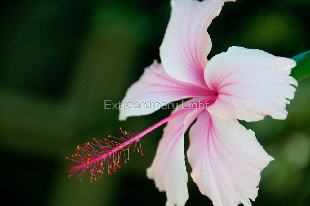 Pale Pink Hibiscus by Renee Hubbard Fine Art Photography