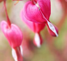 Bleeding Heart by Stephanie Hillson
