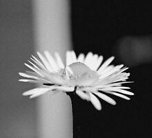 Daisy Noir by Stephanie Hillson