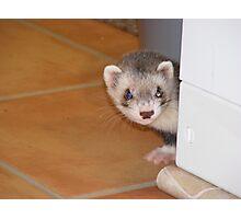ferret George - peek a boo! Photographic Print