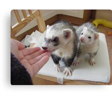 ferrets waiting to be fed.... Canvas Print
