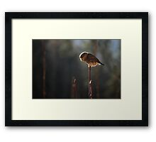 Pygmy Owl 4: Hunting Framed Print