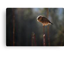 Pygmy Owl 4: Hunting Canvas Print
