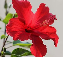 Hibiscus (rosa-sinensis) by DonnaMoore